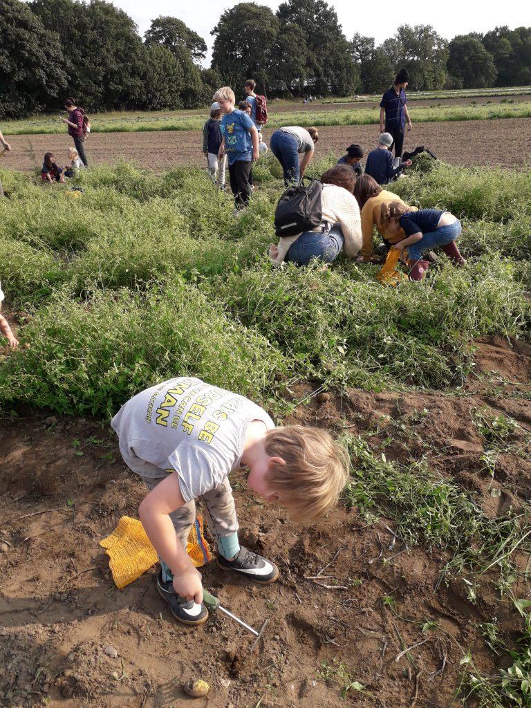 Meine Kinder sammeln Kartoffeln auf Gut Wulfsdorf für das Basteln und unser Essen